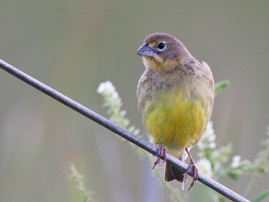 Grassland Yellow-Finch - Chris Wood