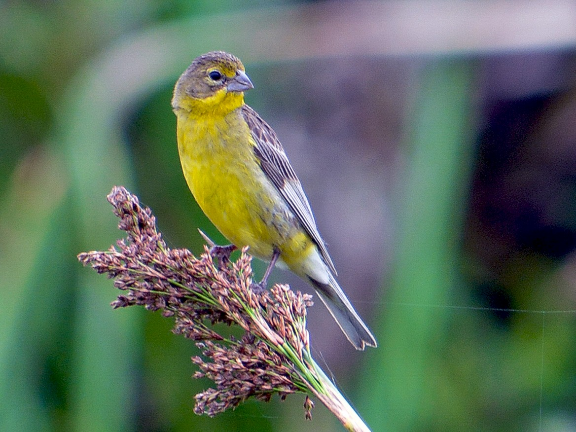 Grassland Yellow-Finch - João Gava Just