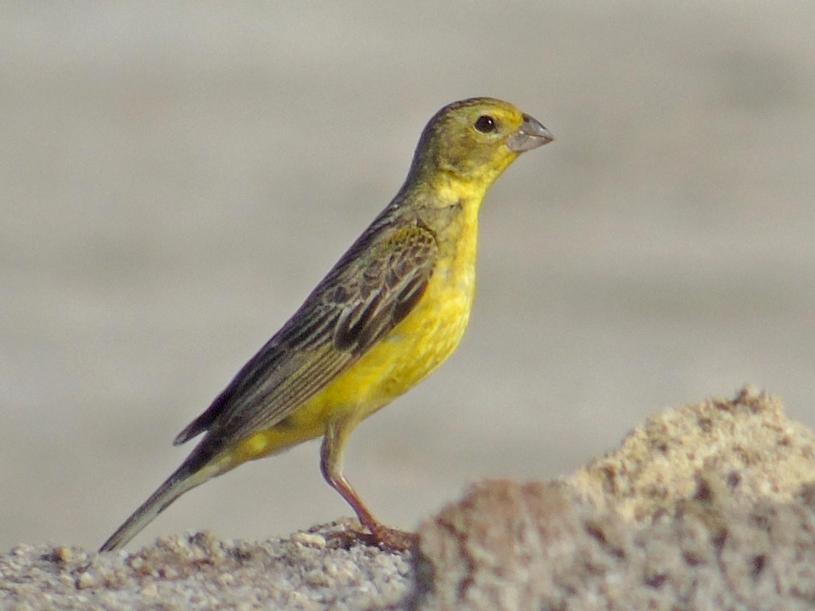Grassland Yellow-Finch - Roni Martinez