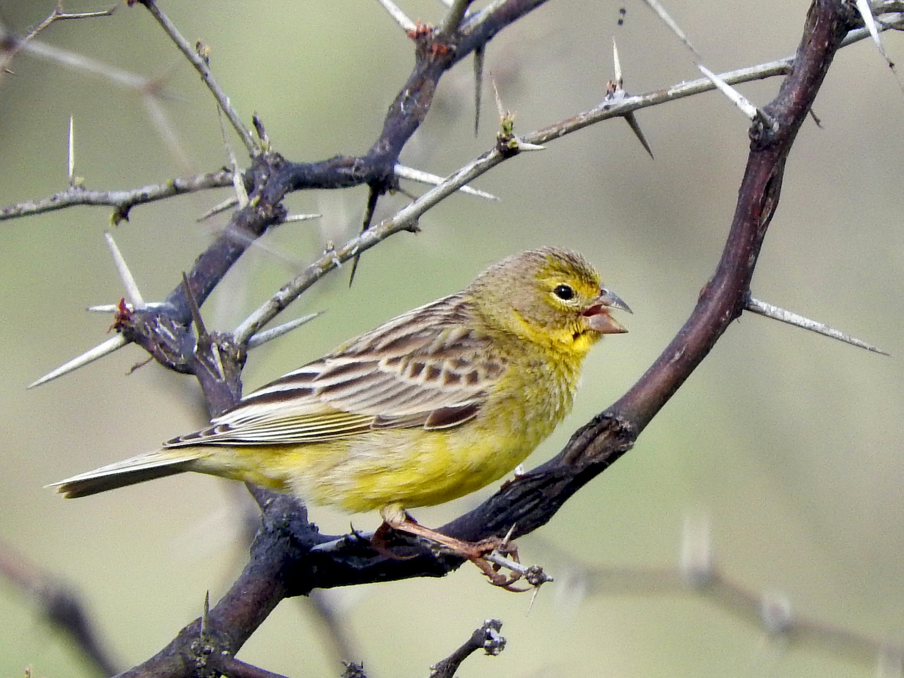 Grassland Yellow-Finch - Diego perez