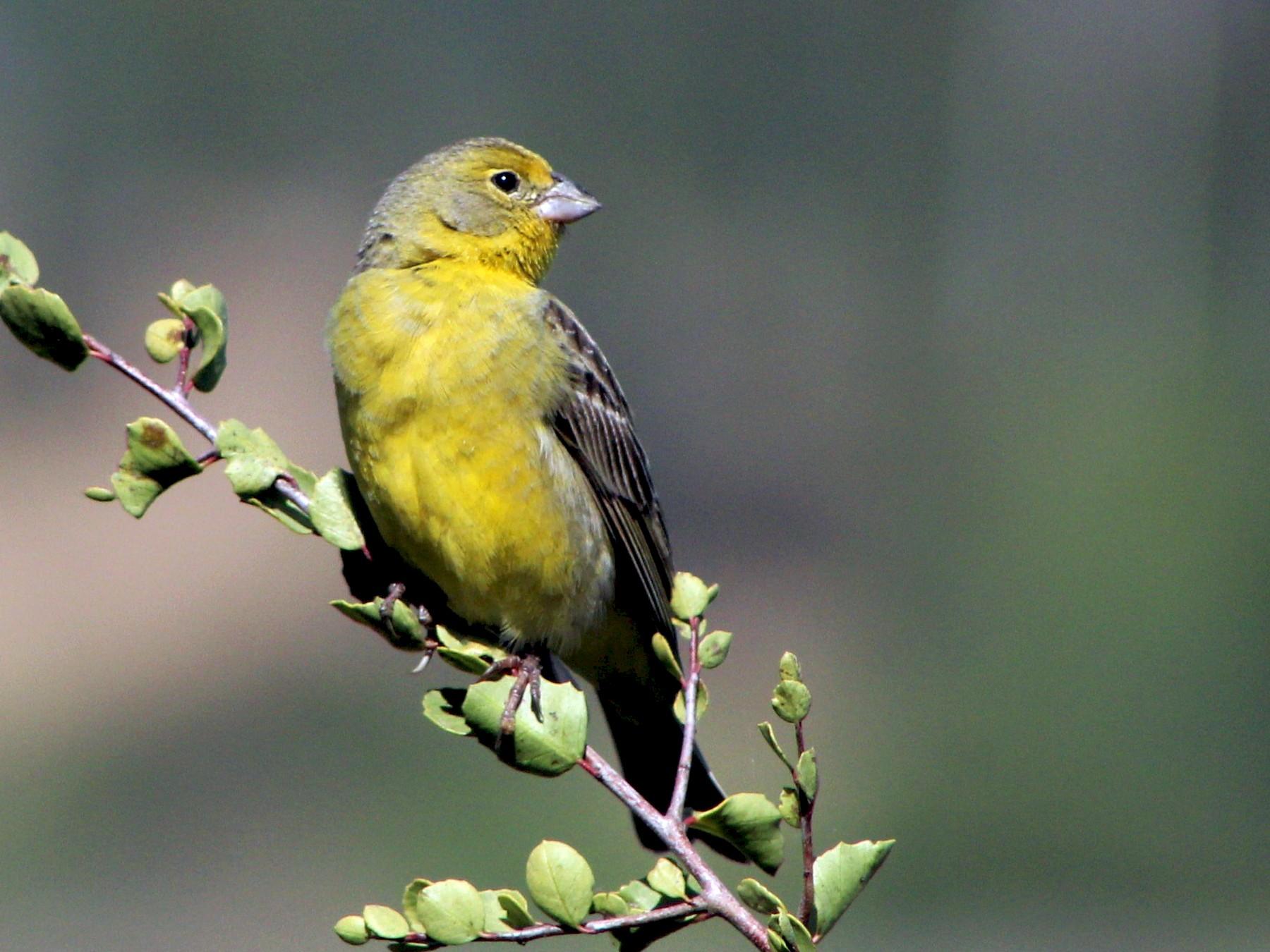 Grassland Yellow-Finch - Matías Garrido