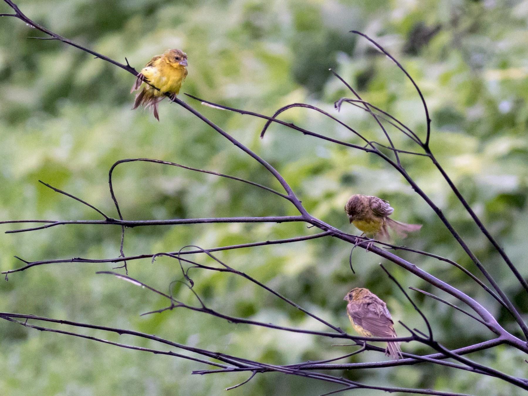 Grassland Yellow-Finch - Kamal Mahabir
