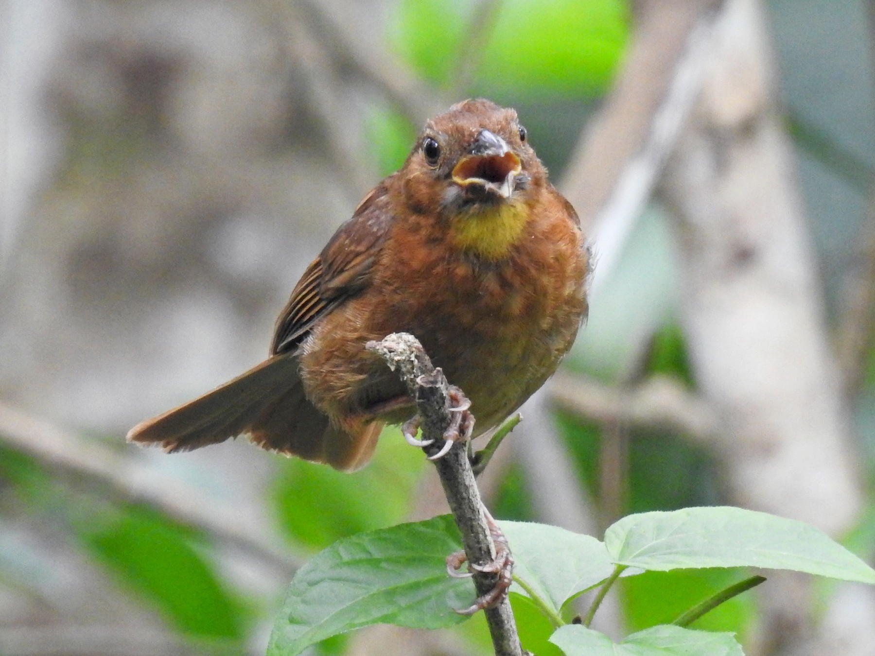 Red-throated Ant-Tanager - Romel Romero