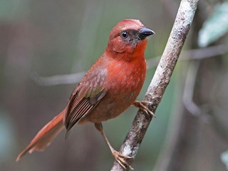 - Red-throated Ant-Tanager