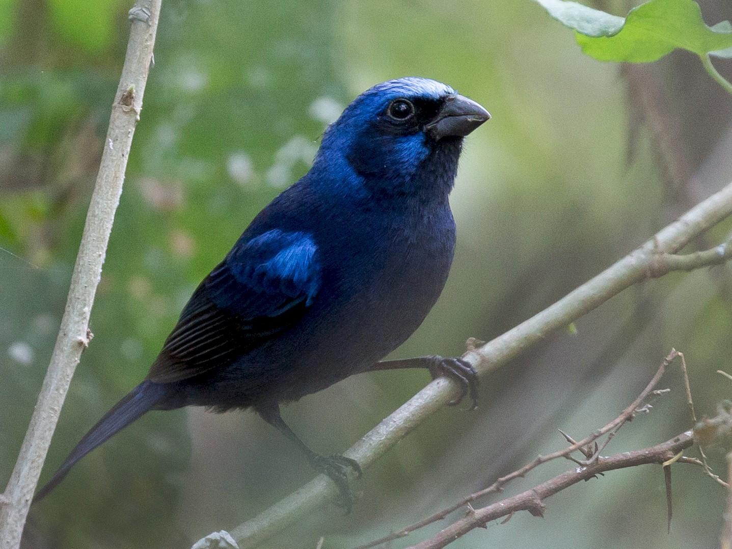 Blue Bunting - Darren Clark