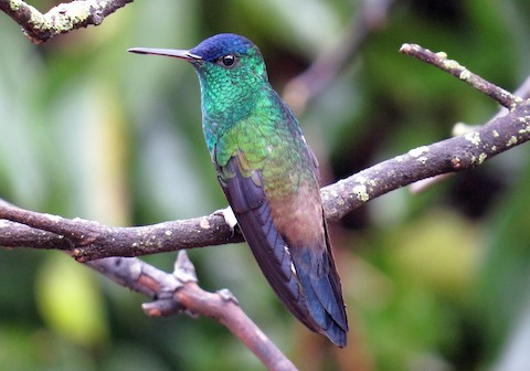 Indigo-capped Hummingbird