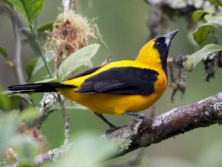 - Yellow-backed Oriole