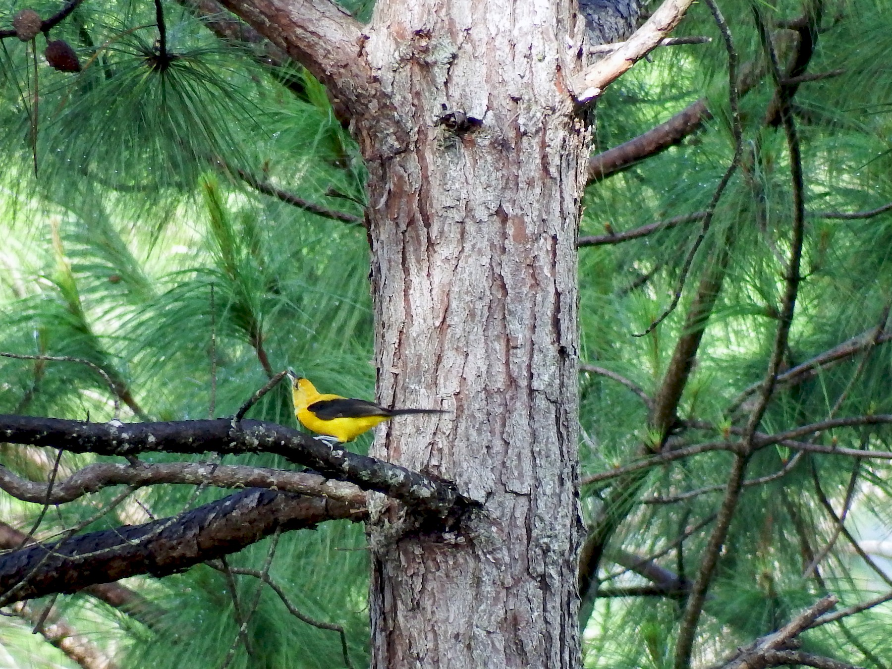 Yellow-backed Oriole - Mayron McKewy Mejia