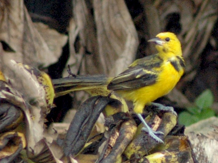 Yellow-tailed Oriole - David Hollie