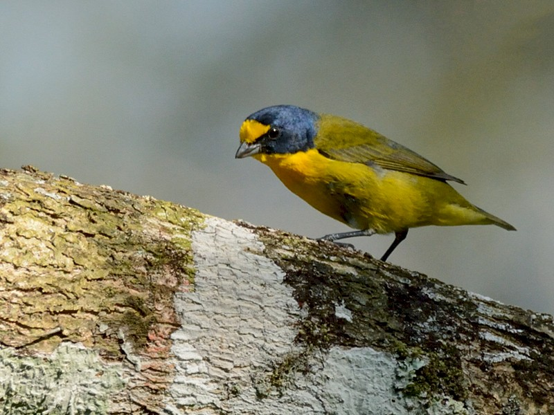 Yellow-throated Euphonia - AvesFC UNAM