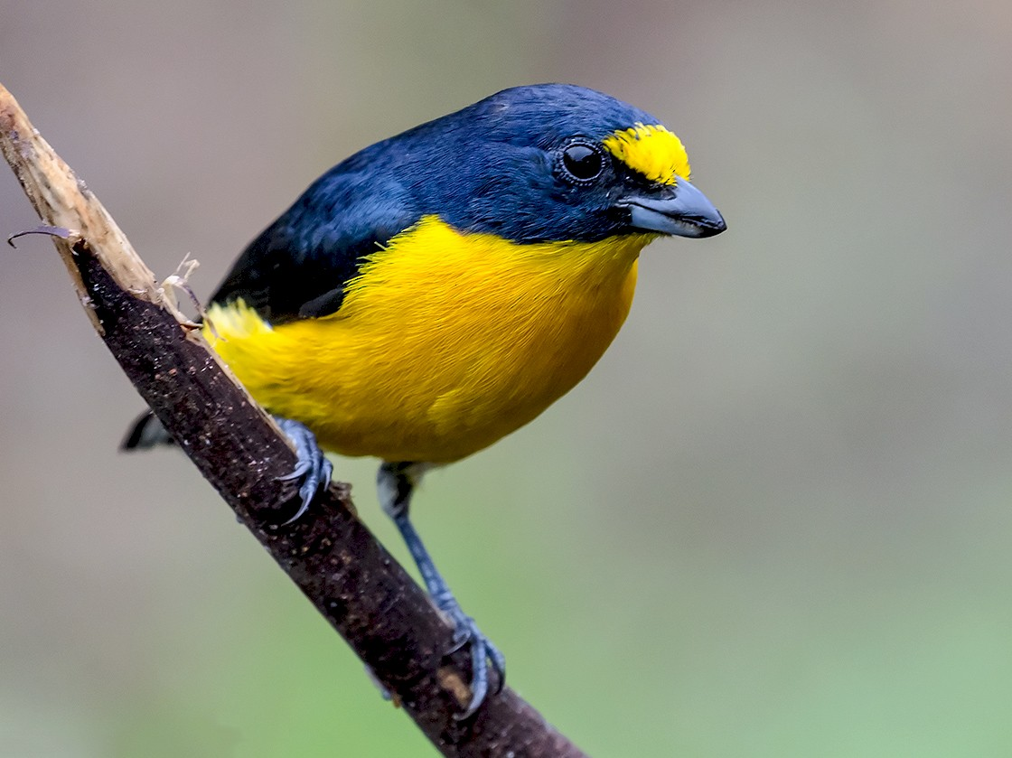 Yellow-throated Euphonia - Frank Salmon