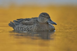 Blue-winged Teal, ML41209141