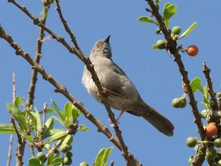 - Miombo Wren-Warbler