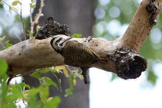 - Bearded Woodpecker