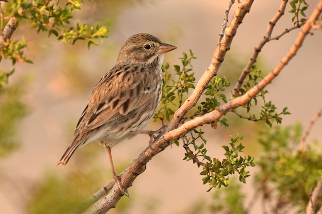 Savannah Sparrow (Large-billed)