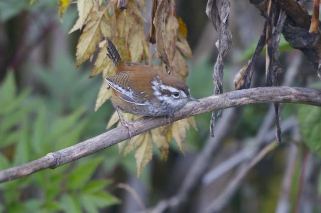 Timberline Wren