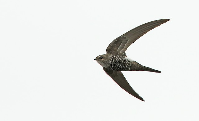 Salim Ali's Swift