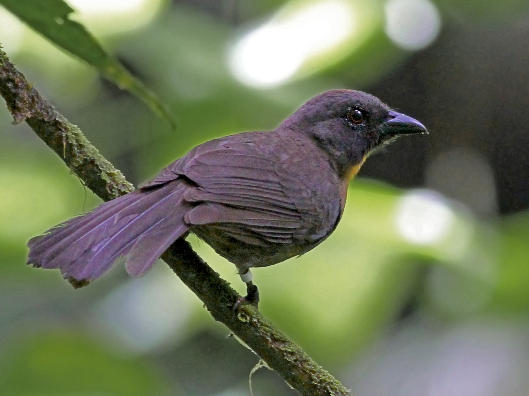 Black-cheeked Ant-Tanager - Andrew Spencer