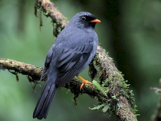 - Black-faced Solitaire