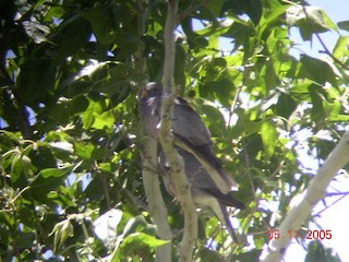 Band-tailed Pigeon, ML41305351