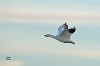 Snow Goose, ML41308741