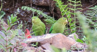 - Andean Parakeet
