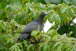 - Christmas Island Imperial-Pigeon