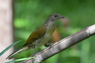 - Spotted Honeyguide