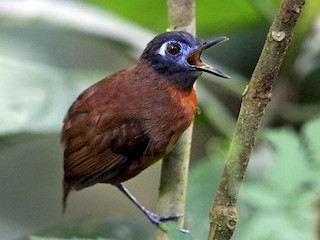 - Chestnut-backed Antbird