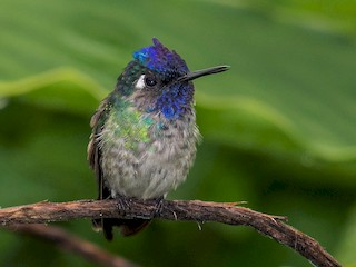 - Violet-headed Hummingbird