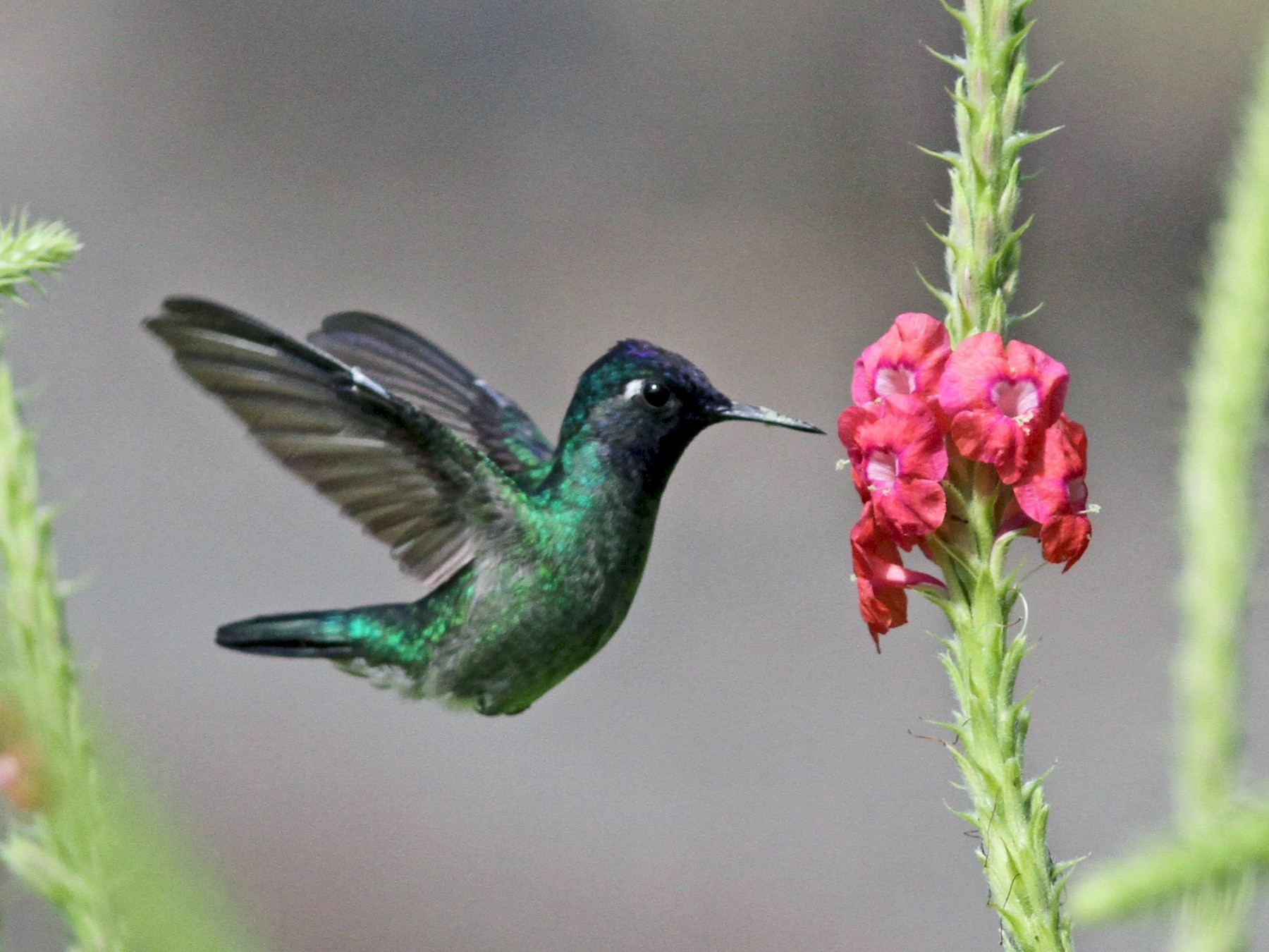 Violet-headed Hummingbird - Sean Fitzgerald