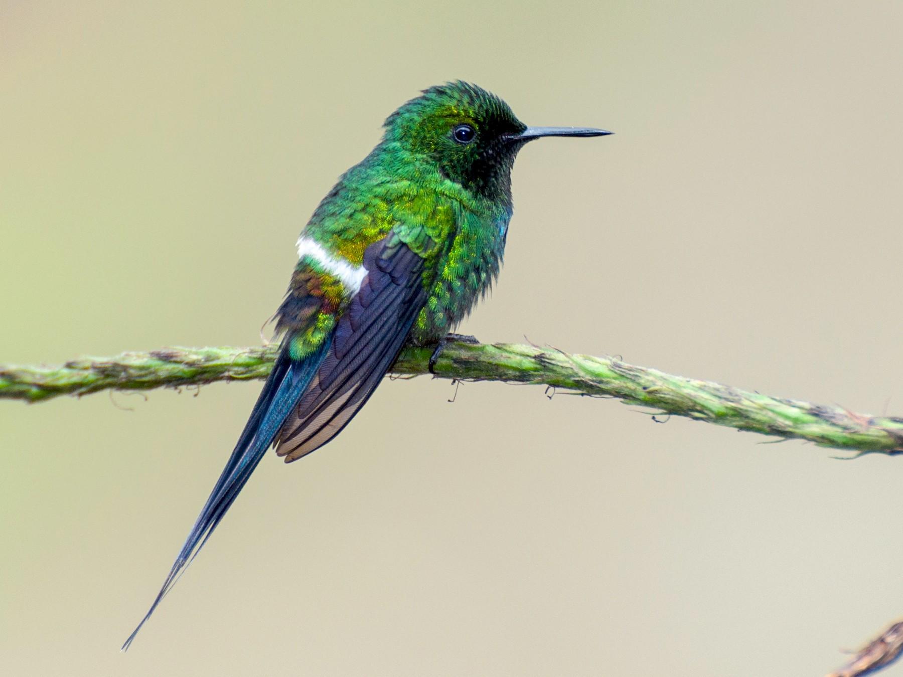 Green Thorntail - Nic Allen