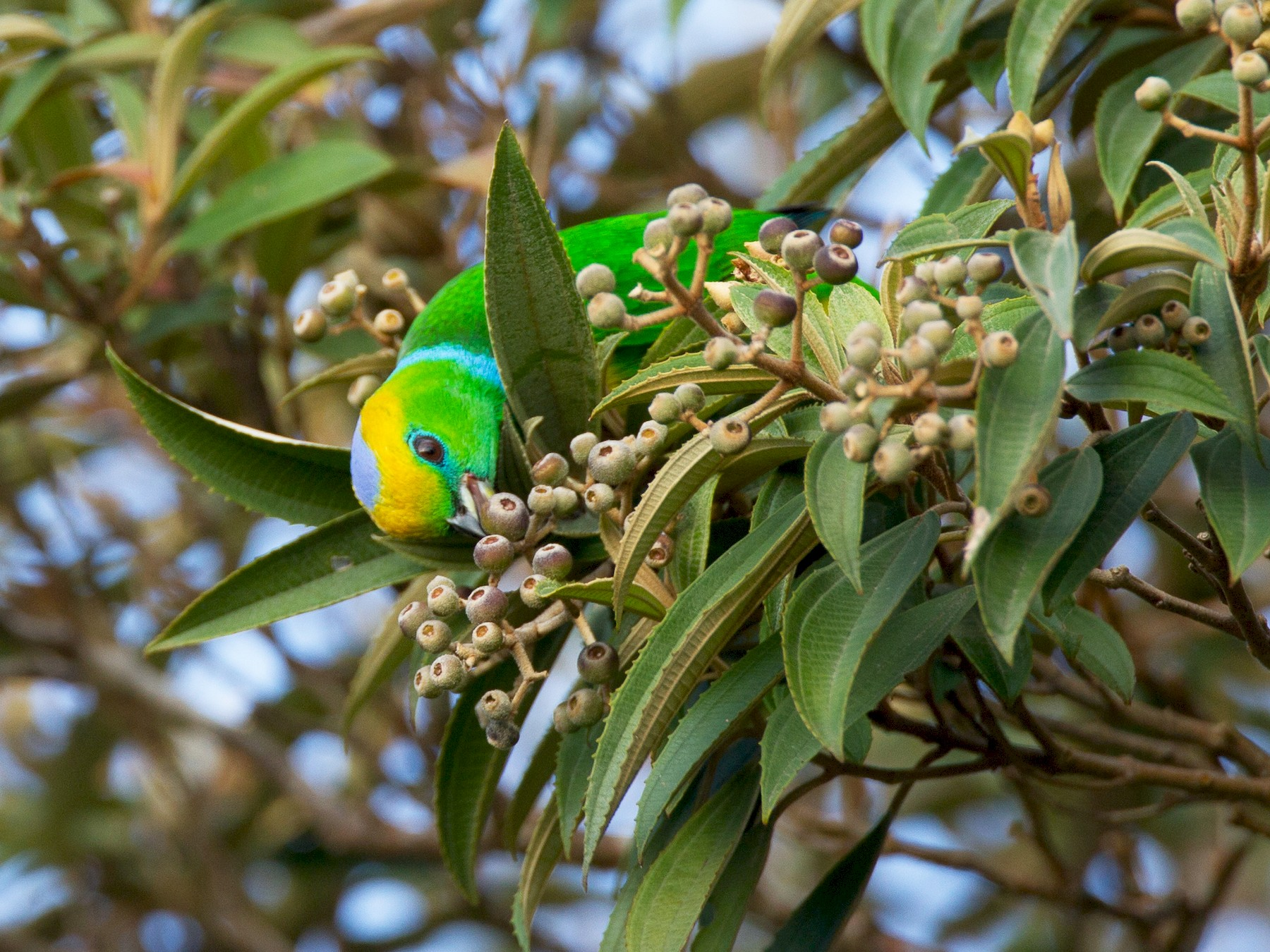 Golden-browed Chlorophonia - Chris Wood