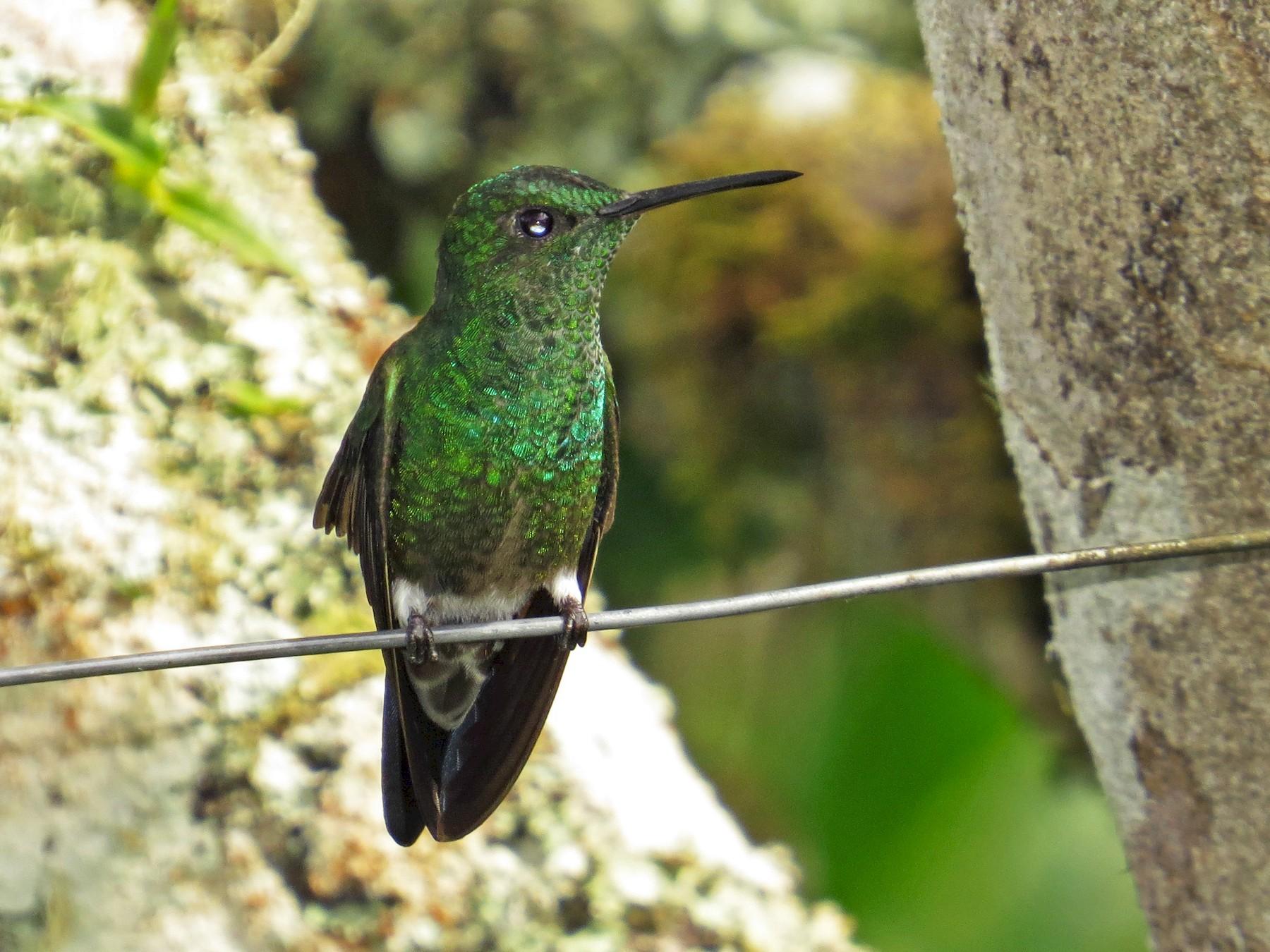 Steely-vented Hummingbird - Mark Kosiewski