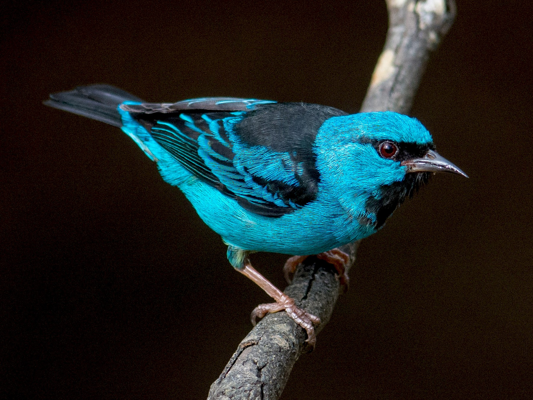 Blue Dacnis - Hudson - BirdsRio