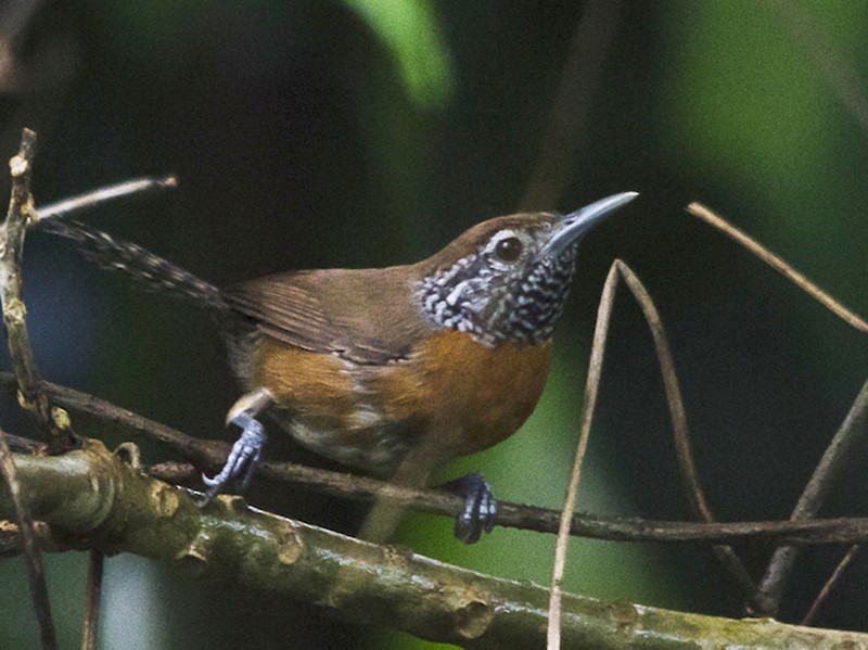 Rufous-breasted Wren - Jerome Foster