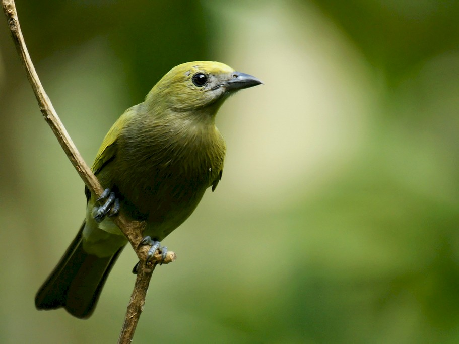 Palm Tanager - David Irving
