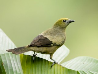- Palm Tanager