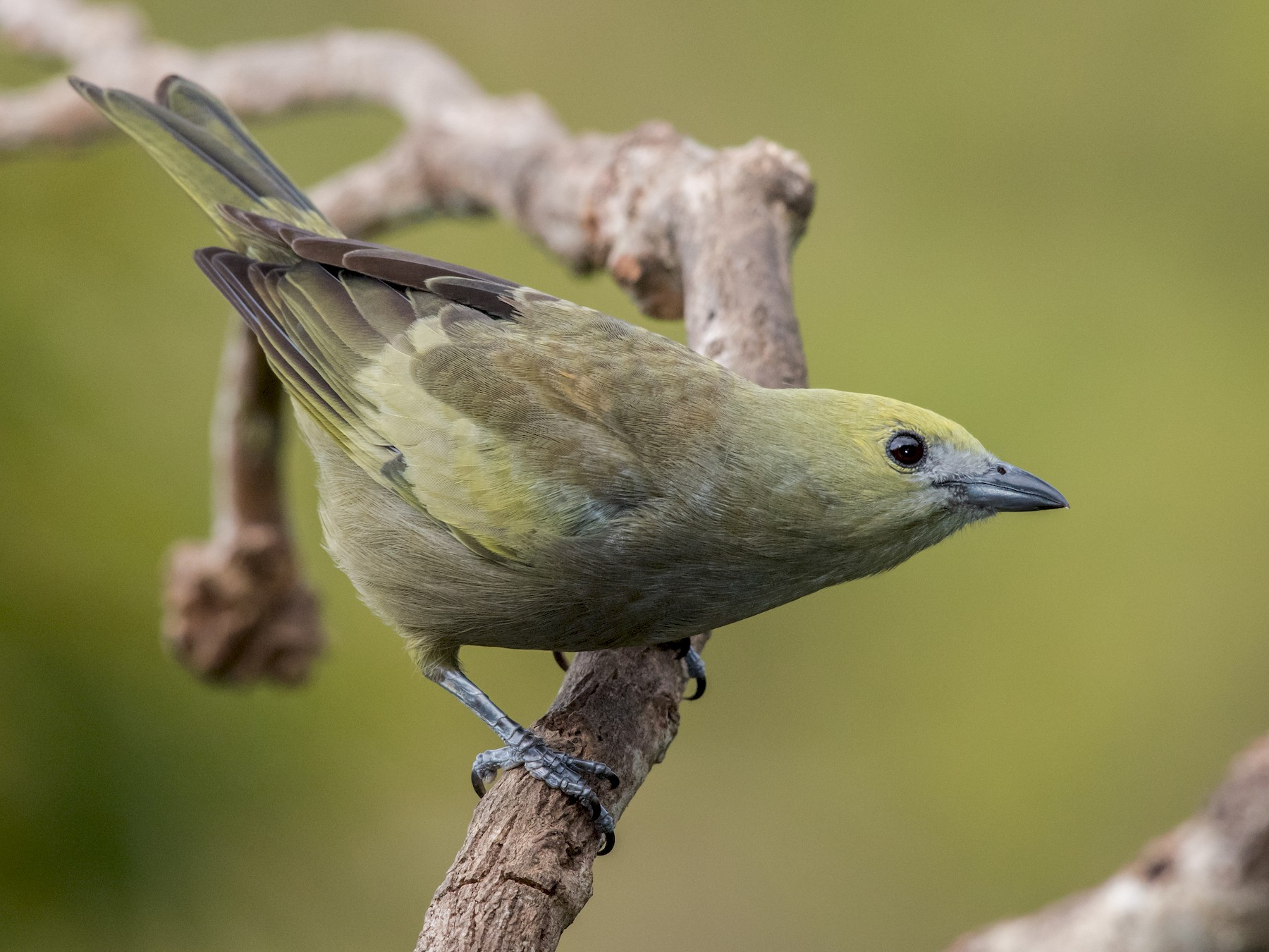 Palm Tanager - Hank Davis