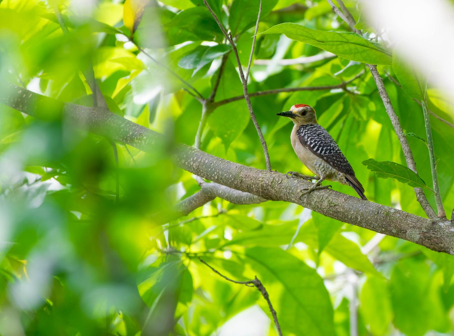 Hoffmann's Woodpecker - Matthew Bell