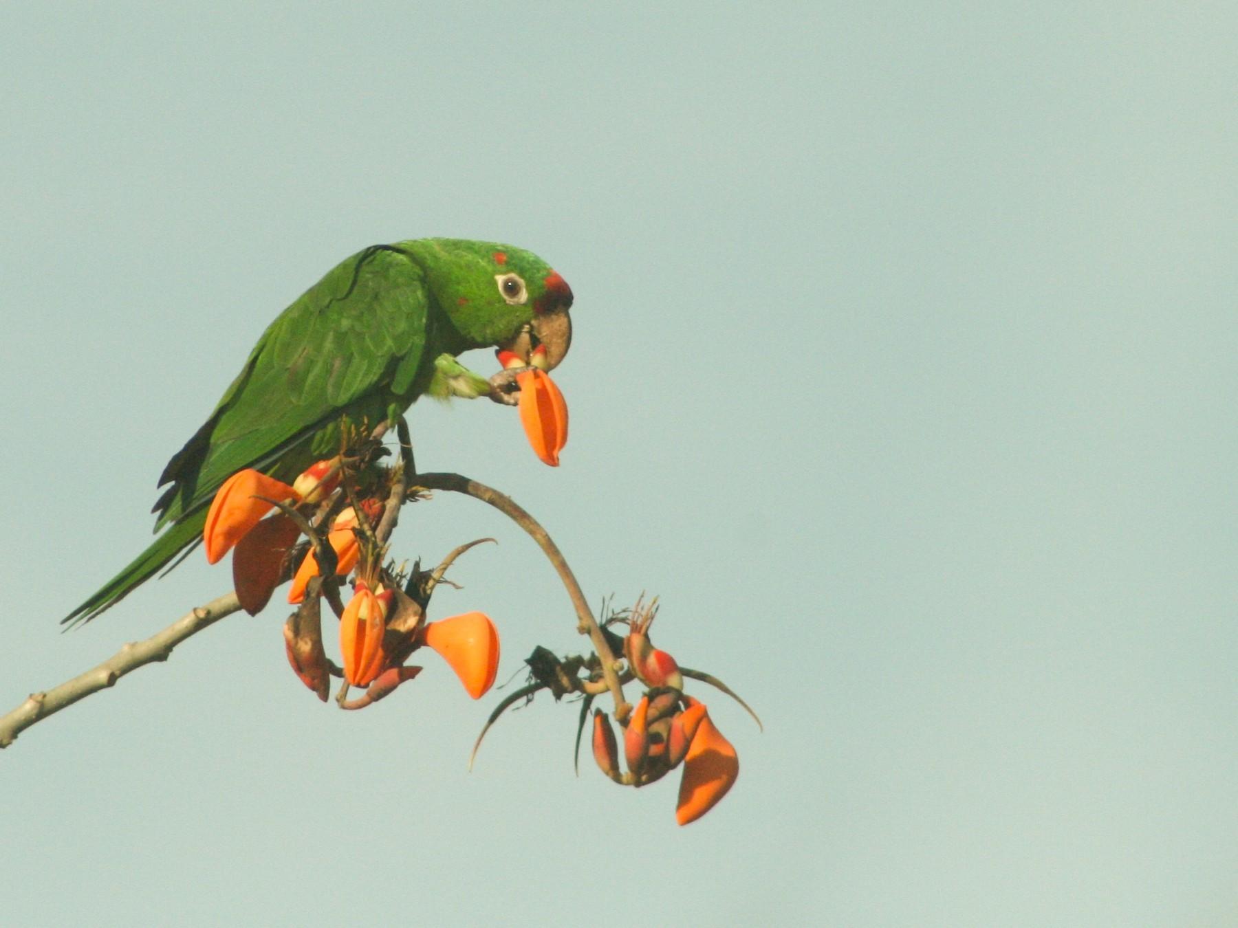 Crimson-fronted Parakeet - Stuart Malcolm