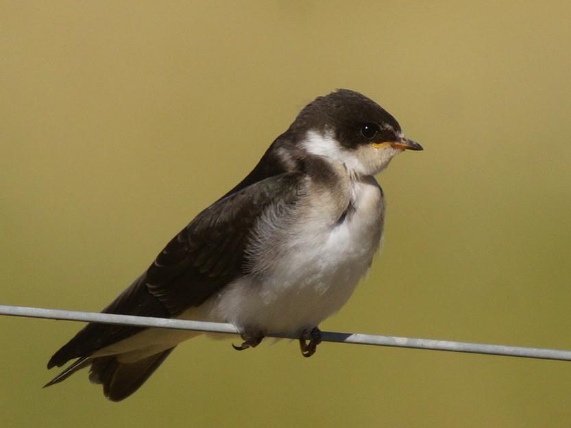 Blue-and-white Swallow - Ricardo  Doumecq Milieu