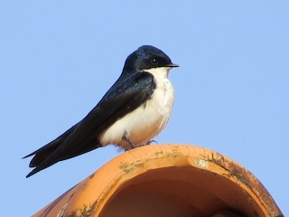- Blue-and-white Swallow
