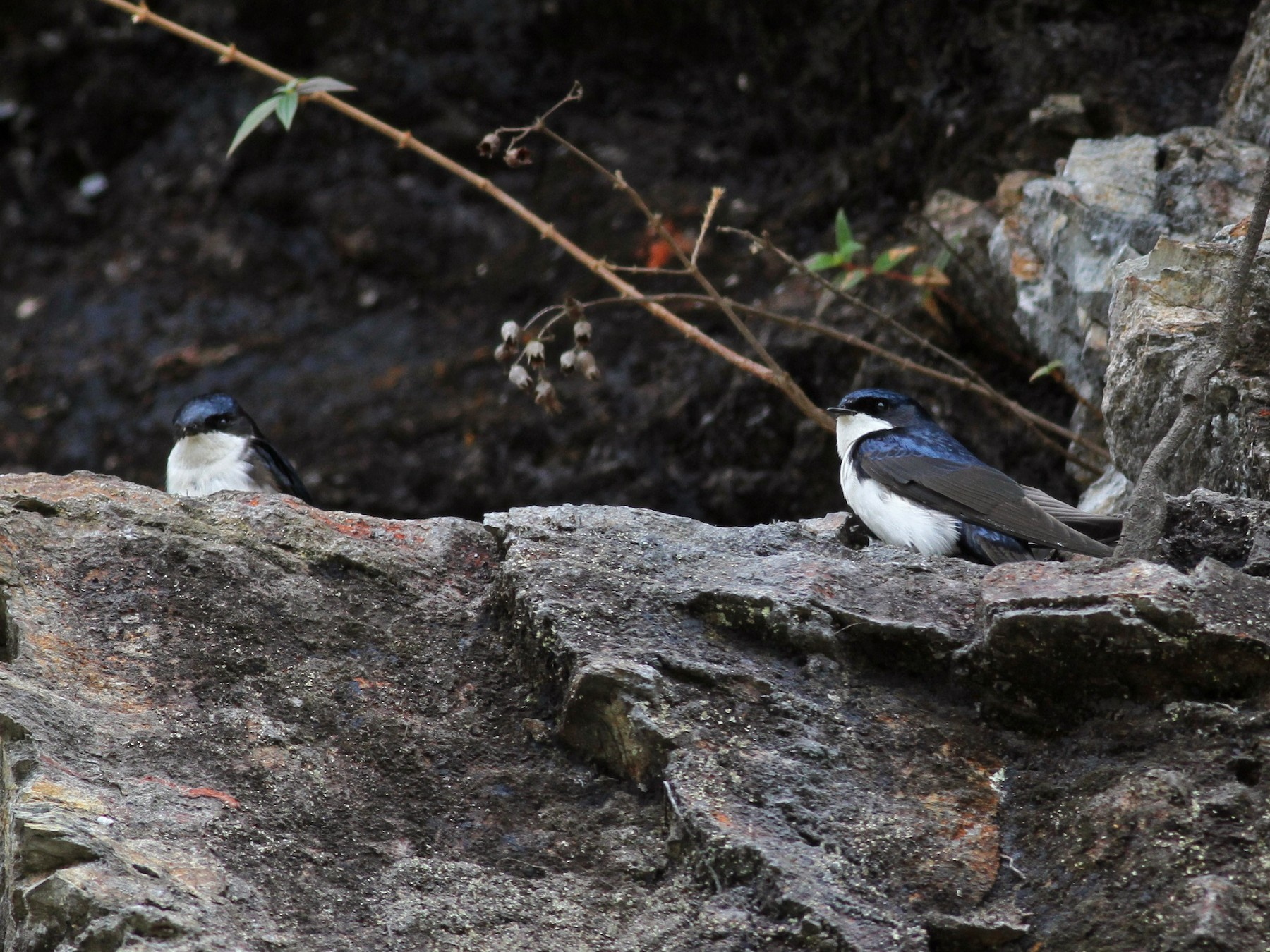 Blue-and-white Swallow - Jay McGowan