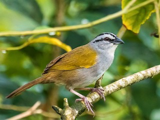 - Black-striped Sparrow