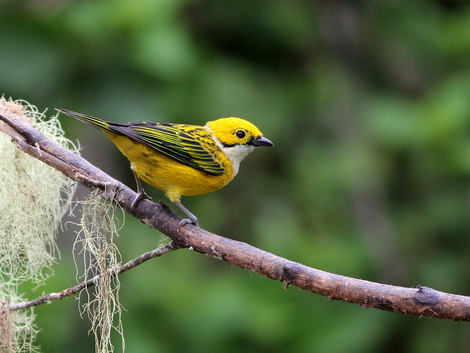 Silver-throated Tanager - Scott Olmstead