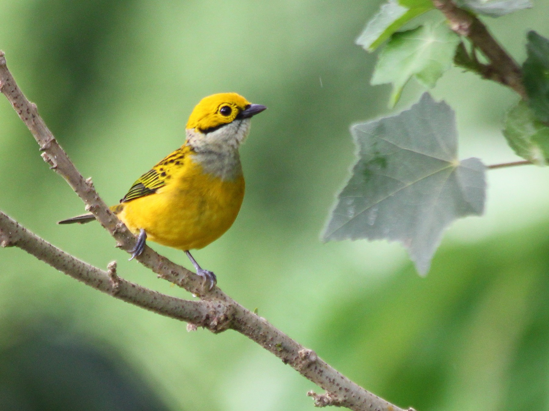 Silver-throated Tanager - Devin Griffiths
