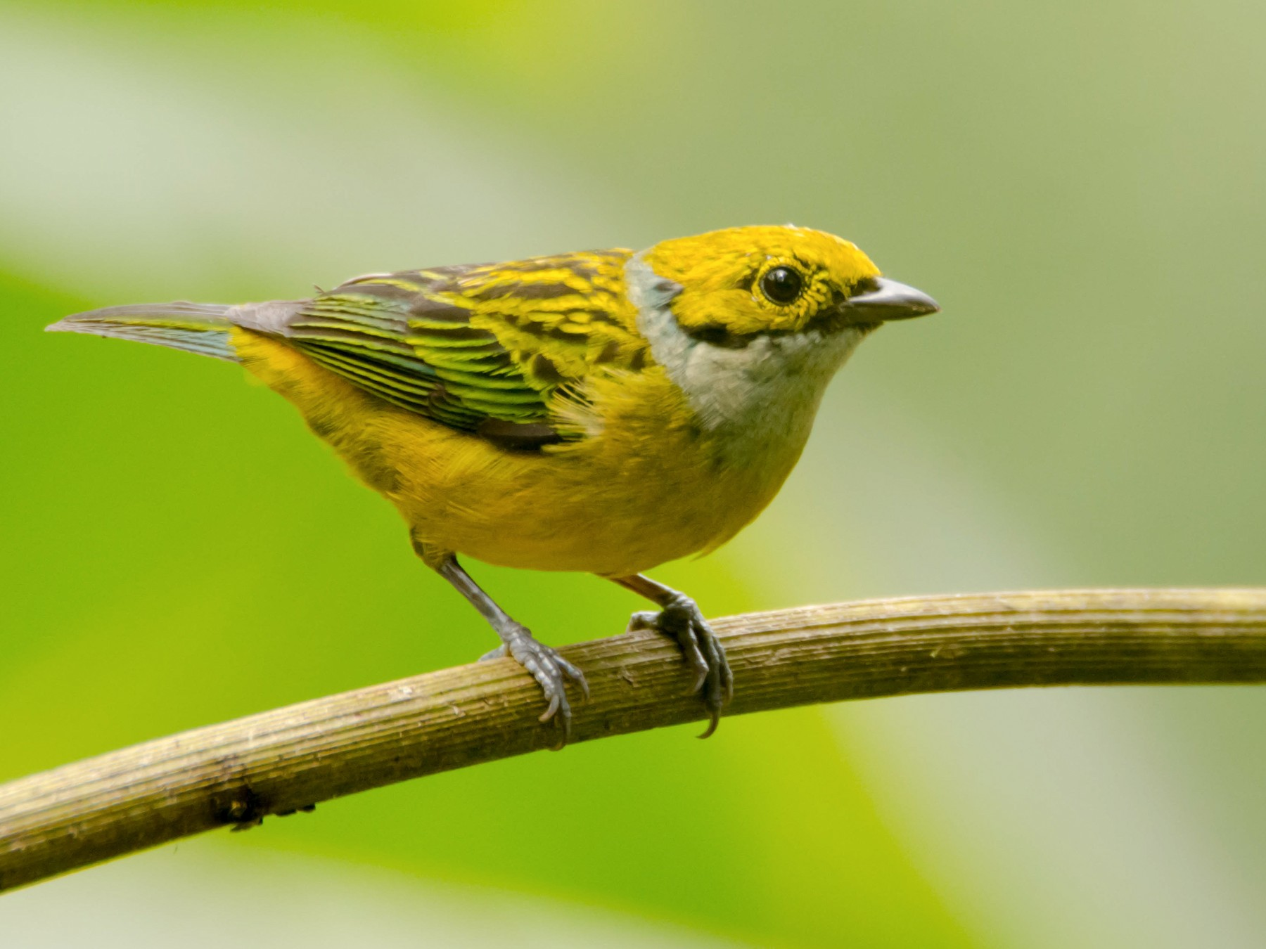 Silver-throated Tanager - Juan Sebastian Moreno