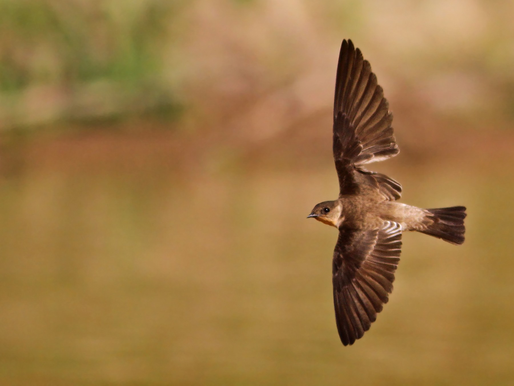 Southern Rough-winged Swallow - Ian Davies