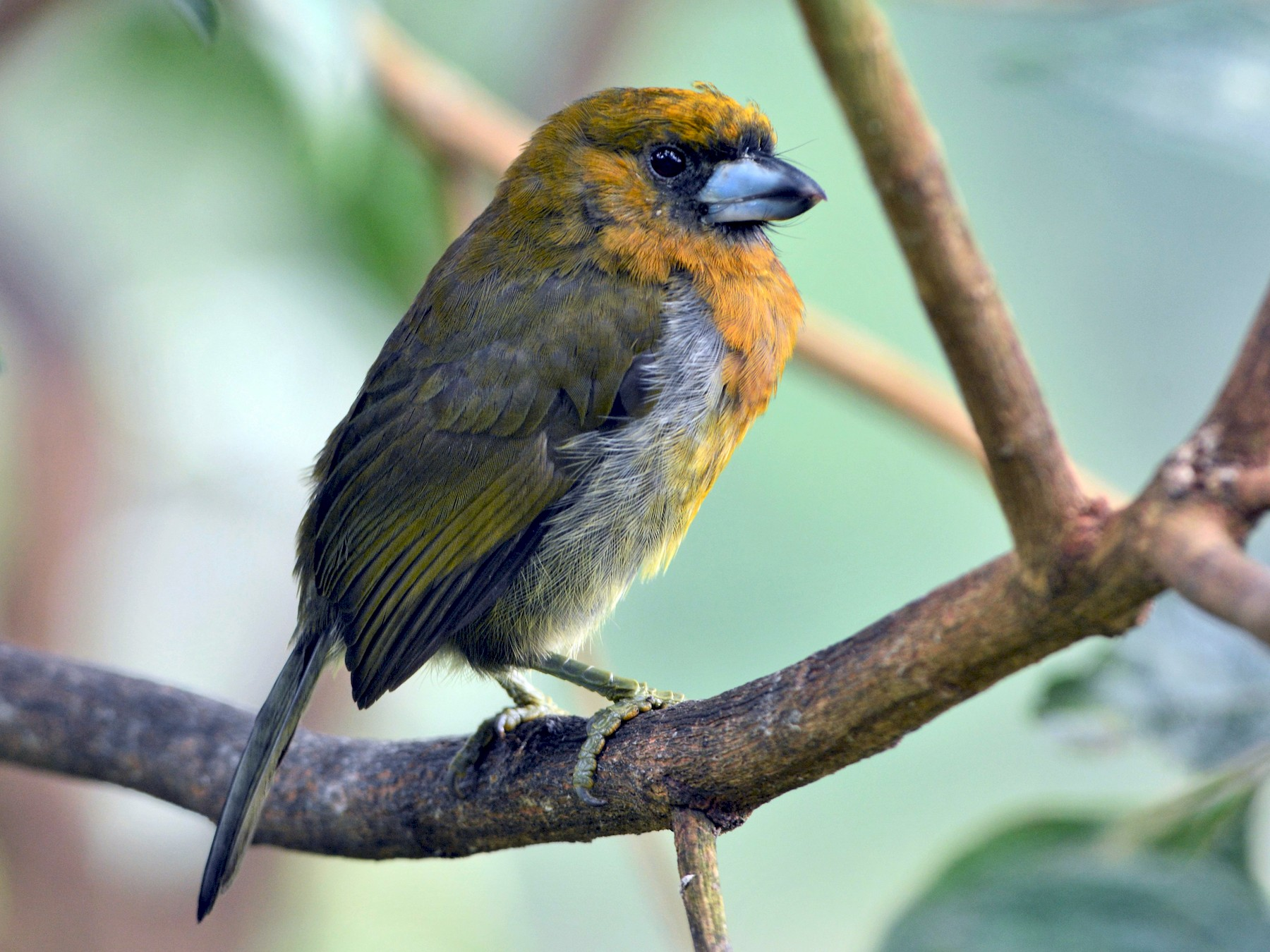 Prong-billed Barbet - David Hollie